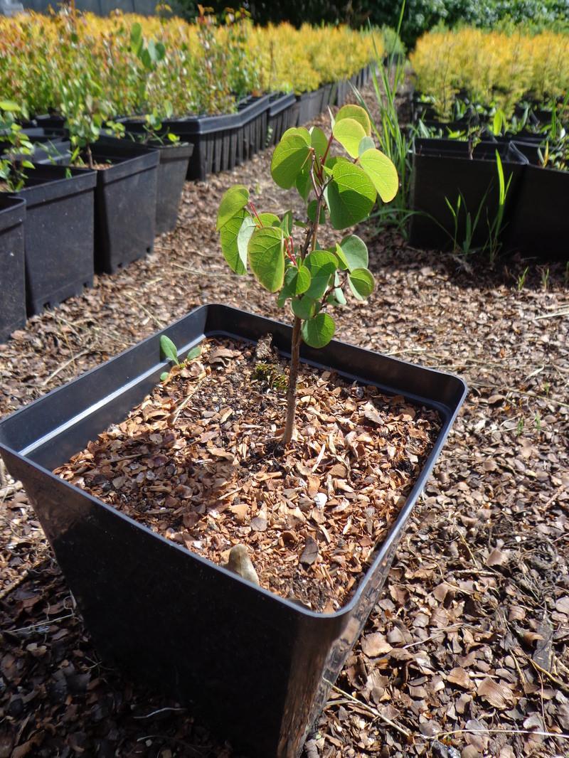 Размножение черенкованием багряника