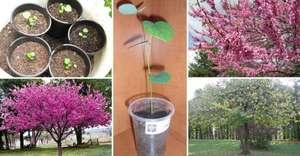 Использование семян багряника
