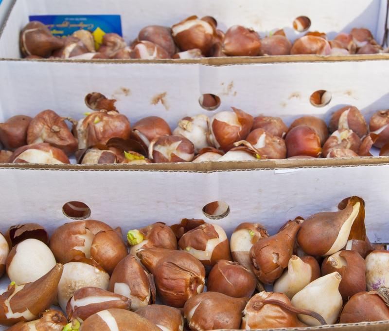 Как обработать луковицы гладиолусов после выкопки