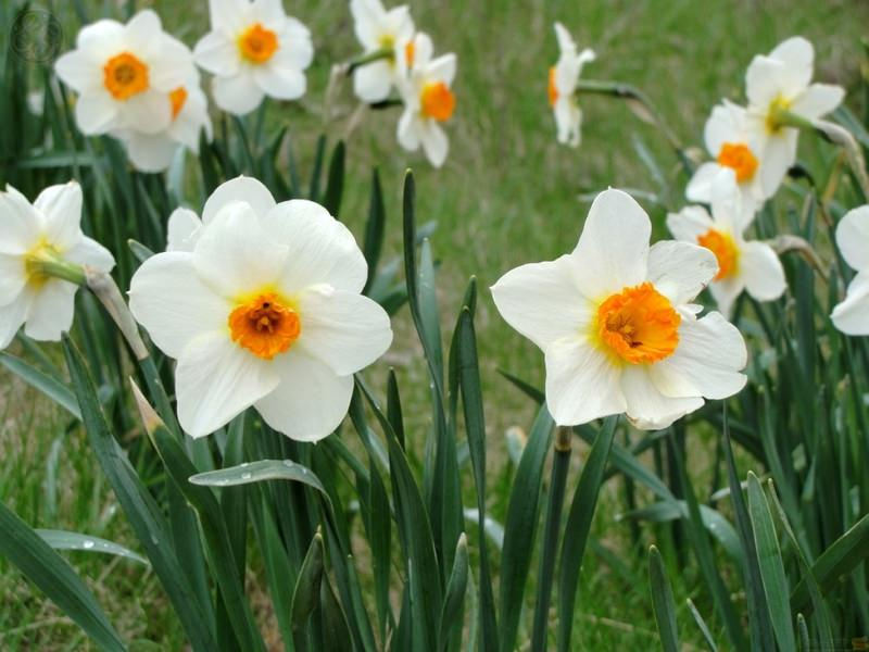 Нарцисс, растение