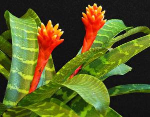 Цветок гузмания что символизирует