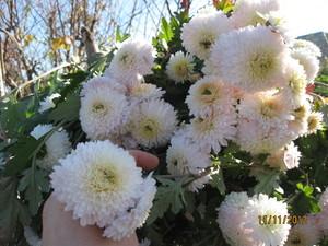 Цветы дубки низкорослые