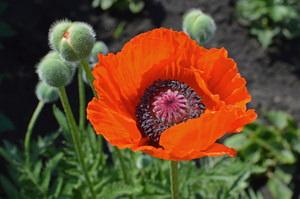 Особенности выращивания цветка мака