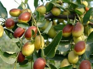 Польза плодов унаби