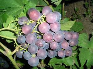 Виноград рошфор, отзывы