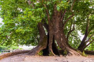 Дерево-долгожитель