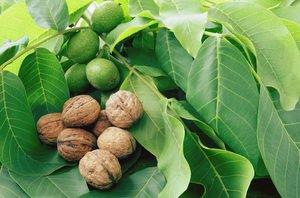 Как вырастить грецкий орех из ореха