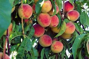 Обработка персика, осенью
