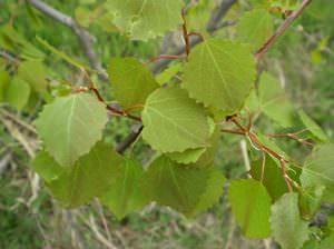 Как выглядит осиновый лист