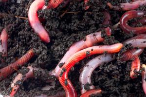 Черви в почве и их роль