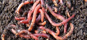 Как размножаются дождевые черви