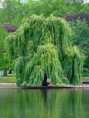 Ива дерево или кустарник