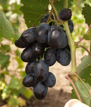 Описание винограда сорта Фурор.