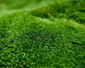 Растение мох