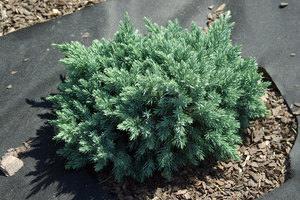 Можжевельник блю стар juniperus squamata blue star
