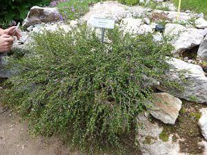 Карликовые березы в саду