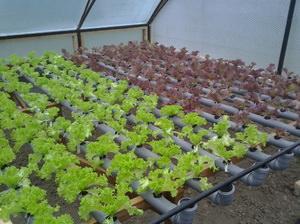 Особенности выращивания зелени