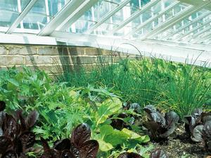 Как выращивать зелень в теплице на продажу