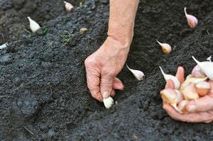 Как вырастить на участке урожай ярового чеснока
