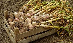 Правильное выращивание чеснока