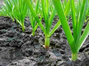 Выбор участка и подготовка грядок для выращивания чеснока