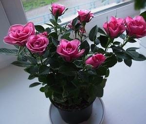 Содержание розы дома