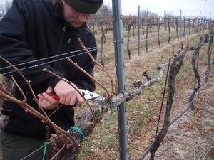 Подготовка виноградника перед холодами