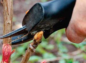 Как укрыть пионы на зиму в сибири
