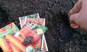 Как правильно посадить морковь в зиму