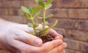 Как вырастить денежное дерево из отростка