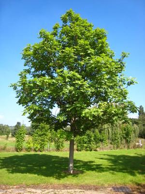 Как ухаживать за деревом ясень