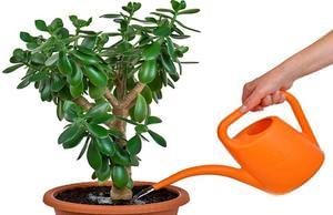 Как посадить отросток денежного дерева без корней