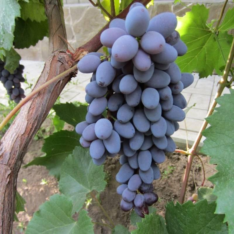 Виноград Юпитер, отзывы