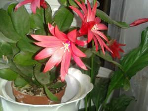 Описание цветка рипсалидопсис