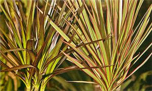 Описание растения драцену