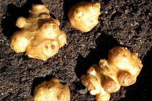 Топинамбур как выращивать