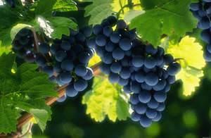 Вино Санджовезе красное сухое; отзывы