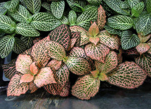 Фиттония (Fittonia) розовая и зеленая