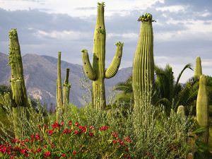 Родина кактусов