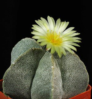 Где родина домашних кактусов