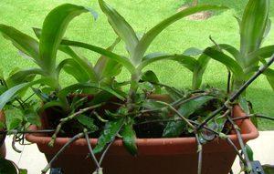 Выращивание золотого уса в домашних условиях