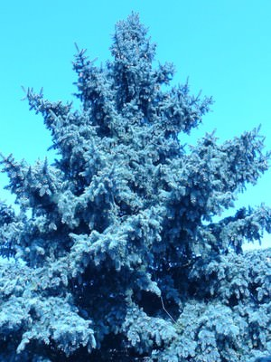 Высота голубой ели