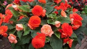 Описание цветка бегония красная