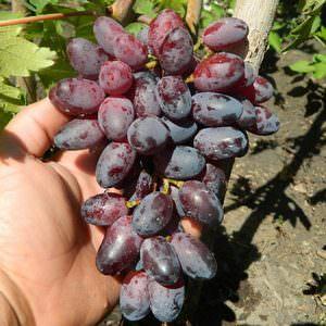 Особенности сорта винограда Байканур