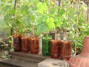 Черенки винограда Байканур