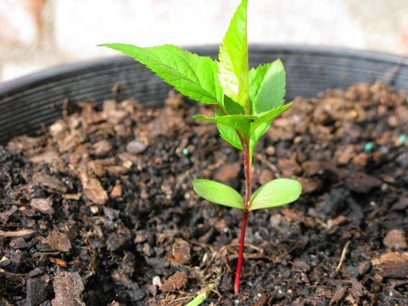 Как вырастить яблоню из семечка в домашних условиях видео