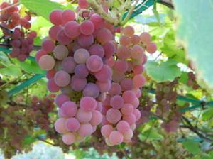 Плоды винограда сорта Тайфи
