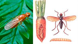 Вред от морковной мухи