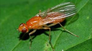 Как вывести морковную муху с огорода