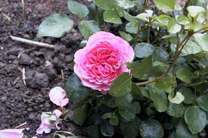 Роза да Винчи